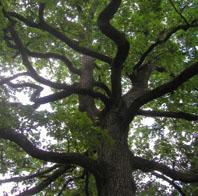 arbre_genealogie