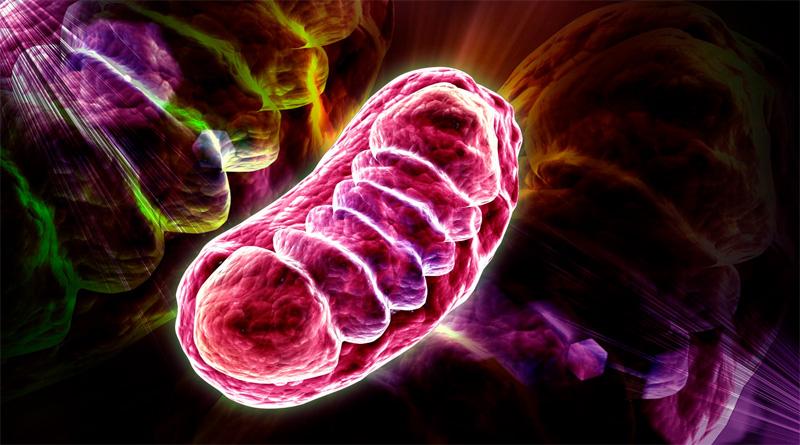 Les mitochondries impliquées dans le Covid long
